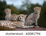 Stock photo a mother cheetah with three cubs sitting on a rock 60081796