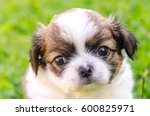 Stock photo chihuahua puppy 600825971