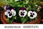 Purple And White Pansy        ...
