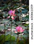Pink Sacred Lotus  Nelumbo...