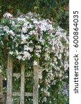 beautiful scented white nepal...   Shutterstock . vector #600864035