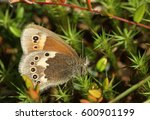 Small photo of A side view of a Large Heath Butterfly (Coenonympha tullia) perched on Moss with its wings closed.