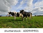 Two Black And White Dutch Cows...