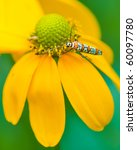 Small photo of Ailanthus webworm moth feeds on flower.
