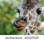 Giraffe  Giraffa Camelopardali...