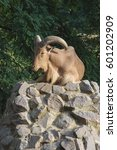 Small photo of A mountain ram lies on a hill