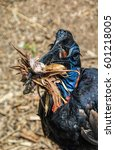 Small photo of Portrait of an Abyssinian Ground Hornbill gathering dried leaves for nest building.
