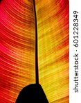 Small photo of A colorful orange-yellow-red leave of a red Abyssinian Banana (Ensete ventricosum Maurelii) in backlit by the sun