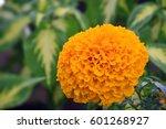 beautiful marigold | Shutterstock . vector #601268927