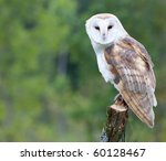 A Curious Barn Owl.
