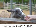 Cute Llama Animal In The Zoo ...