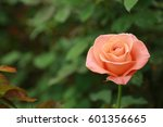 Orange Color Rose Just Love