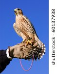 Falconer With Peregrine Falcon...