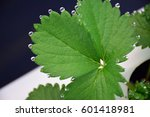 Small photo of respiration water of plant in dew drop form on strawberry leaf, in science call Guttation