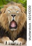Male Lion Yawning Portrait