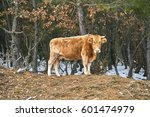 lonely cow on woods in evros...