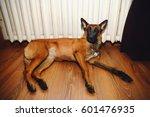 Belgian Shepherd Dog Malinois...