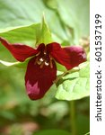 Small photo of Red Trillium in Dappled Light