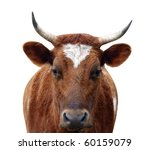 ayrshire cow with horns... | Shutterstock . vector #60159079