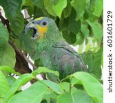 Small photo of Yellow-crowned amazon parrot (Amazona ochrocephala) between leaves with its peak open at the National Aviary of Colombia