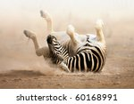 Zebra Rolling On Dusty White...