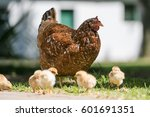 Mother Hen With Her Baby Chick...