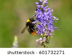 Bumblebee Sitting On A Field...