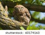 little owl in a tree  looking   Shutterstock . vector #60174163