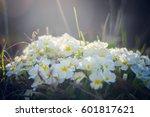 white flowers primula vulgaris... | Shutterstock . vector #601817621