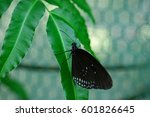 Small photo of Graphim agamemnon butterfly in a garden