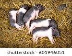 piglets newborn lying on each...   Shutterstock . vector #601946051