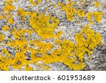 Small photo of macro of mustard yellow saxilocous caloplaca moss or lichen set on gray granite stone for beautiful botanical color palette or macro of natural pattern