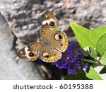 Постер, плакат: Buckeye Butterfly on Butterfly