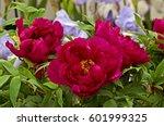 tree peony 'cardinal vaughan'...   Shutterstock . vector #601999325