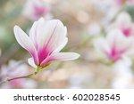 magnolia flowers spring blossom  | Shutterstock . vector #602028545