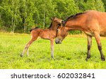 mare and foal. mother horse love | Shutterstock . vector #602032841