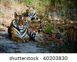India Three Bengal Tigers On A...