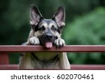 cheerful shepherd shows tongue  | Shutterstock . vector #602070461