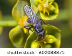 Small photo of Fucellia (Anthomyiidae) insect posed on a flower
