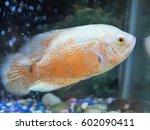 Tropical Fish Albino Tiger...
