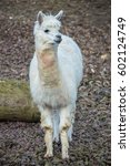 Small photo of Alpaca, white ilama, funny animal