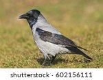 corvus cornix is the first... | Shutterstock . vector #602156111