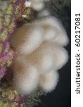 Small photo of Deadman's Fingers Soft Coral (Alcyonium digitatum), Gouliot Caves, Sark, Channel Islands