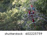 scarlet macaws perching on a... | Shutterstock . vector #602225759