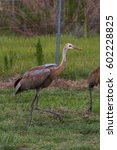 Small photo of Young Sandhill crane (Grus canadensis) colt