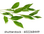 green tea leaf isolated on... | Shutterstock . vector #602268449
