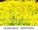 canola flower | Shutterstock . vector #602276201