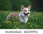 welsh corgi pembroke | Shutterstock . vector #60235951