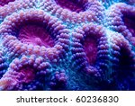 Small photo of This is a macro photograph of a purple and blue closed brain coral (Favia sp.).
