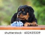 adorable rottweiler puppy lying ... | Shutterstock . vector #602435339